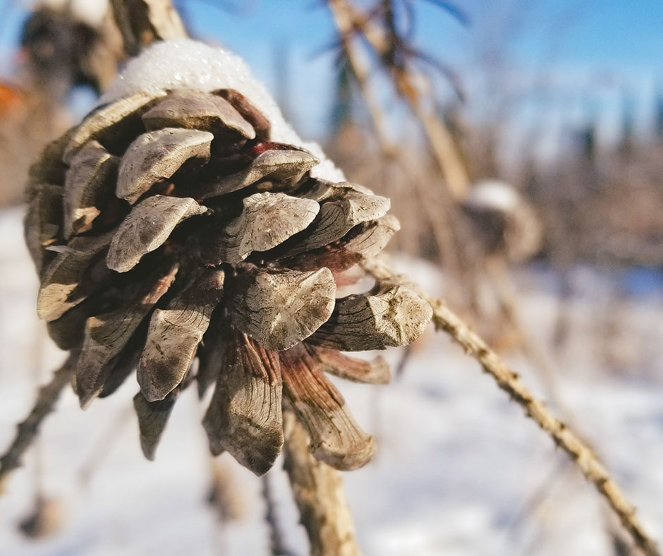 Winter pine cone at Blueberry Rock Trail